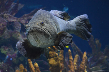 Grouper swimming in the water