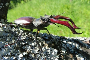 Stag beetle on the tree