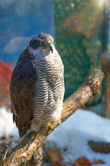 Peregrine Falcon, a large beautiful cards, strong Hawk, bird of prey in the wild.