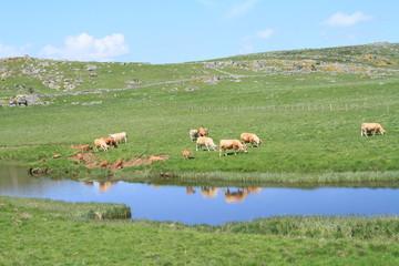 Poster de jardin Olive reflet de Vaches en En Aubrac 2018