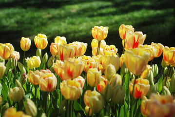 Beautiful tulips in a park
