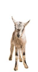 goat isolated