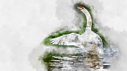 Watercolour painting of a Swan in a lake