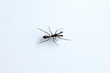Ant mimicking spider, Myrmarachne sp, Salticidae, Bangalore