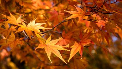 Maple leaves : Japan Autumn