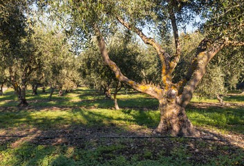 olive trees with irrigation growing in olive orchard