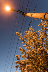 Night of street lamp and blooming pear.