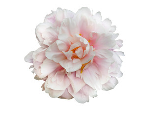 Pale pink peony flower isolated on white background.