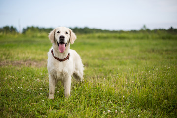 Portrait of happy golden retriever dog with tonque out standing in the buttercup field in summer season