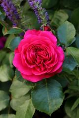 """Rose in Rot """"Leonardo da Vinci red"""" Makro"""