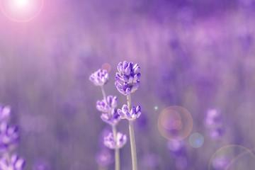 field lavender morning
