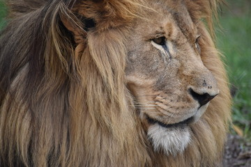 Beautiful portrait of a big lion in South Africa