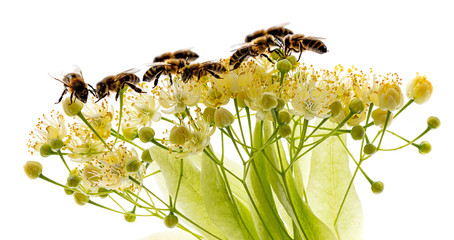 Linden flowers and bees isolated on a white background