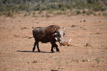 Closeup of a brown warthog in Addo Elephant Park in Colchester, South Africa