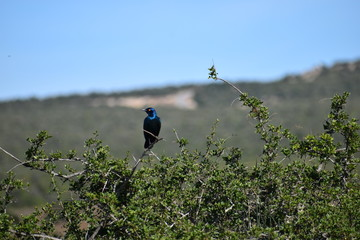 A beautiful colorful little bird sitting on a tree branch in the Addo Elephant Park in South Africa