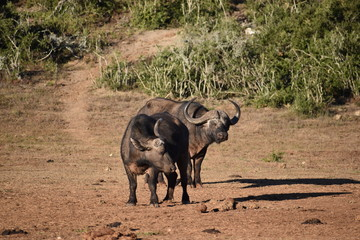 Closeup of two brown big water buffalos in Addo Elephant Park in South Africa