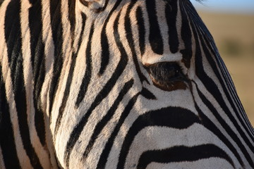Portrait of a zebra in Addo Elephant Park in Colchester, South Africa