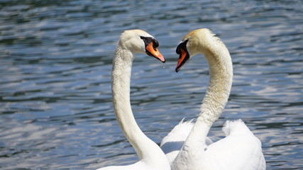 two close swans form a heart on a lake in the sun