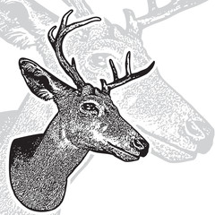 Deer head - graphic engraving isolated on white background. Vector illustration of stags deer head in vintage style, image portrait of cute horned animal. Symbol of hunting trophy.