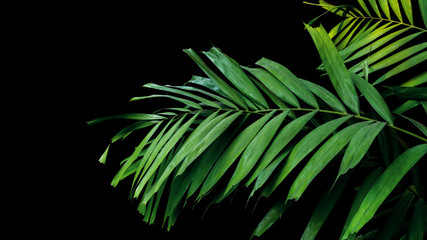 Wall Mural - Palm leaves, tropical foliage plant growing in wild on black background, clipping path included.