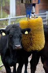 Cow with brush massage device for the animal comfort and more milk production