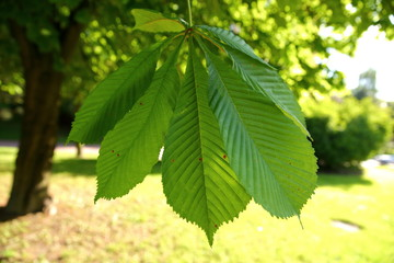 Chestnut is a deciduous tree with interesting leaves in the shape of a human hand.