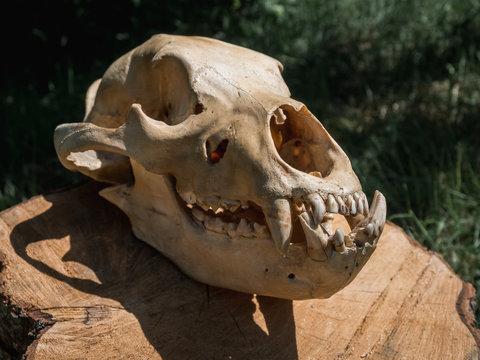 Bear Skull on log