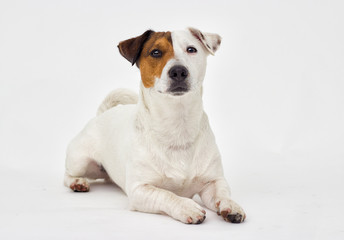 Jack Russell Terrier looks at the gray background