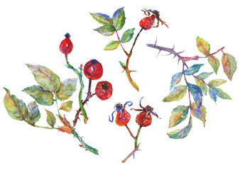 Hand drawn set of brier, briar, dogrose. Watercolor berries and branches on white background. Painting isolated illustration