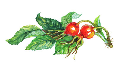 Hand drawn brier, briar, dogrose. Watercolor berries and branch on white background. Painting isolated illustration