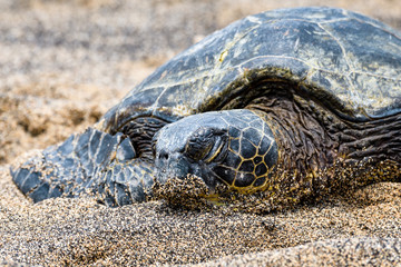 Close up of Hawaiian Green Sea Turtle pulled up out of the Pacific Ocean resting on a sandy beach in Kaloko-HonoKohau National Park, Hawaii