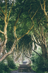 The Dark Hedges, Northern Ireland, a tunnel of wrangled beech trees, on a rainy day