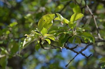 tree apple green