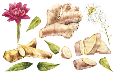 Hand Drawn Ginger and Horseradish watercolor sketch. Illustration For Food Design.