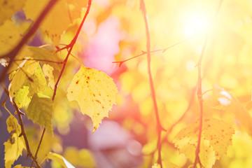Lone birch leaf on tree branch on autumn leaves blurred background. Golden autumn season concept