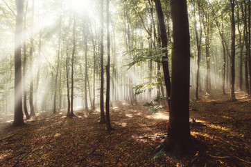 Magical Woods With Light Rays Through Fog