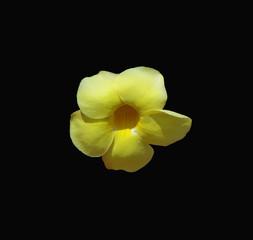Isolated yellow Alamanda flower against a dramatic black background.