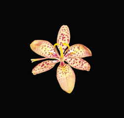 Isolated pale orange spotted Blackberry LIly against a dramatic black background.