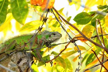 Iguane en Guadeloupe
