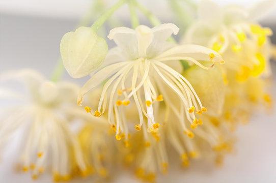 linden flowers close-up, filter applied