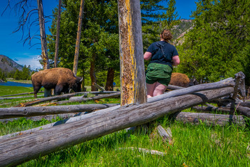 Outdoor view of fat woman taking picture very close to dangerous American Bison Buffalo grazing inside the forest in Yellowstone National Park