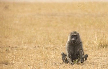 Olive baboon sitting in the savanna