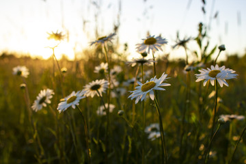 Beautiful flowers daisy (Leucanthemum) in a field at sunset.