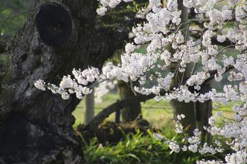 石部桜(福島県・会津若松市)