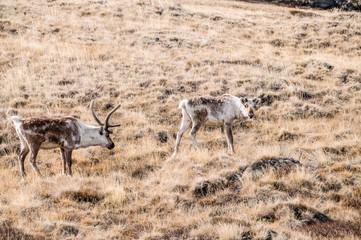 Reindeers in Greenland