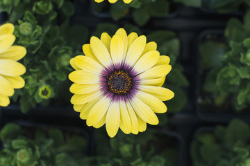 Top view African Daisy