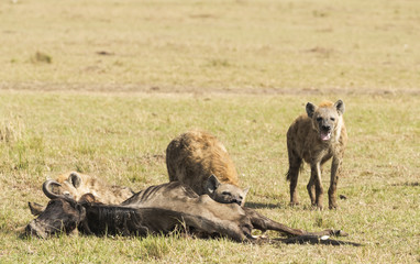 Group of hyenas eat the corpse of a wildebeest