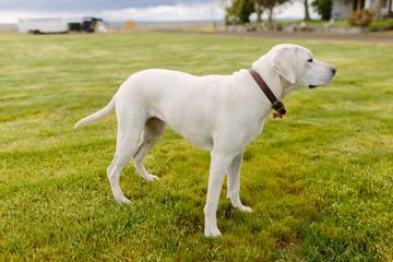 Labrador Retriever Standing in Field