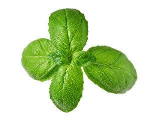 Fresh basil leaf and water drops isolated on white background,