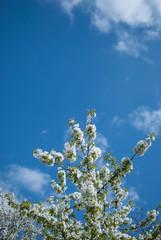 White blooming cherry-tree